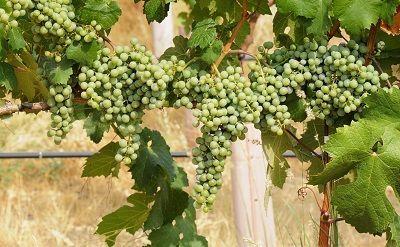 Cómo consumir vino sauvignon blanc